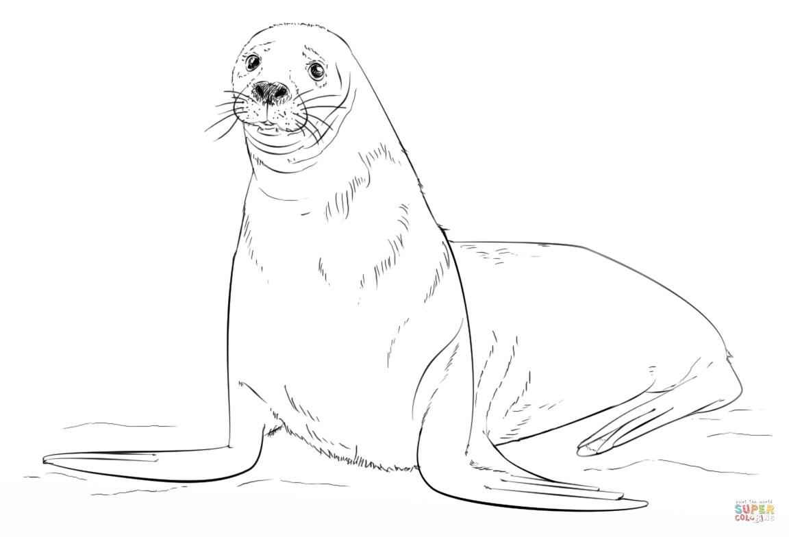 how to draw a sea lion easy